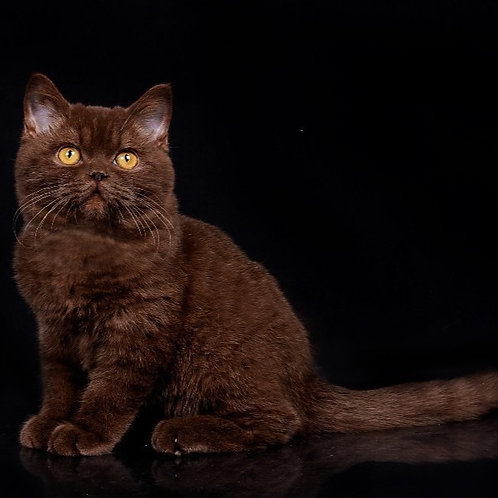 1059 Simon   British shorthair male kitten