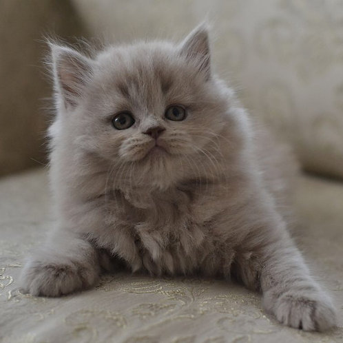 Dolly lilac color Scottish fold longhair female kitten