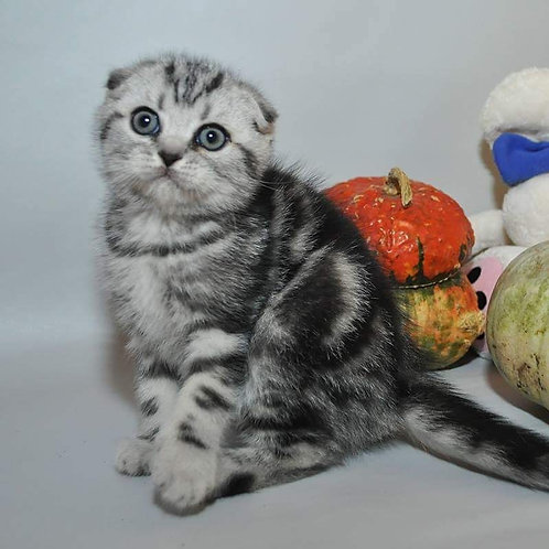 Martin purebred Scottish fold kitten in a black marble color