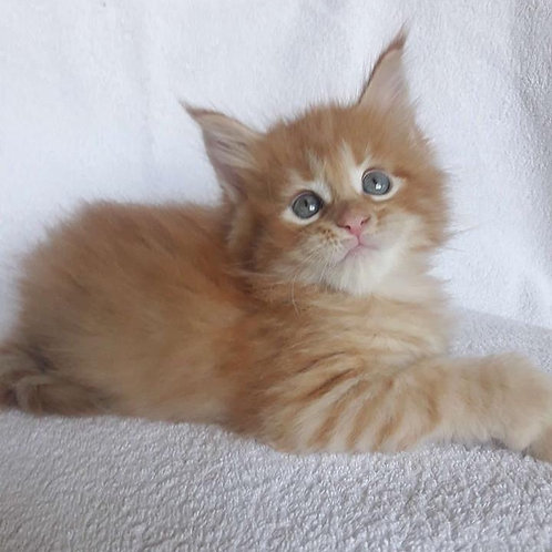 Romio very smart purebred Maine Coon male kitten