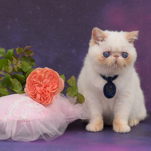 Peon Exotic shorthair male kitten