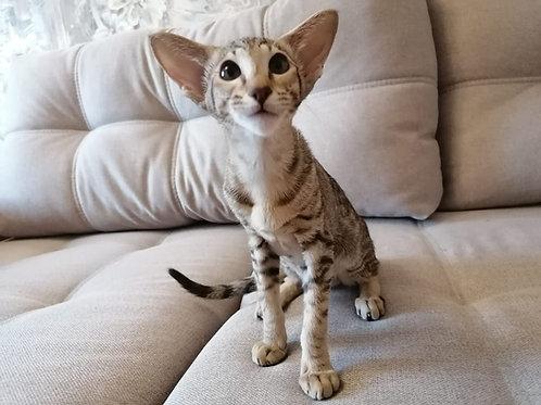 437 Jane   Oriental female kitten