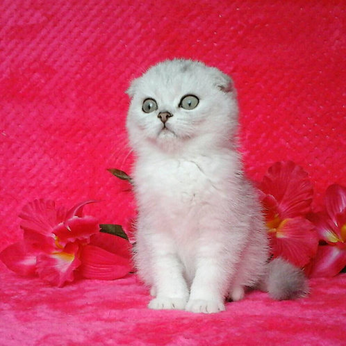 Denchik chinchilla color Scottish fold male kitten