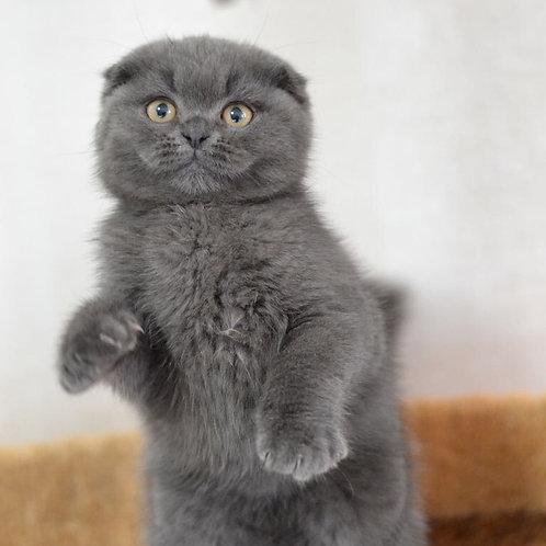 Steely very dark blue Scottish fold male kitten