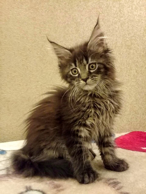 Adrian Maine Coon in a black tiger color