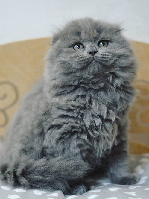 Forest purebred Scottish longhair male kitten with folded ears