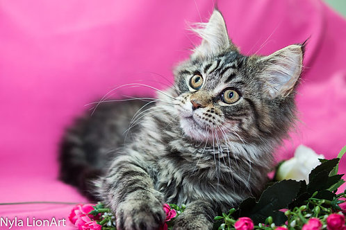 Nyla purebred Maine Coon female kitten in a black marble color