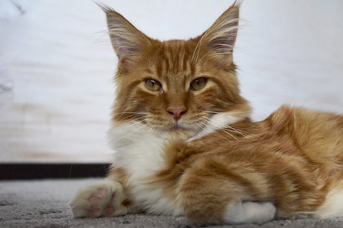 Bongusta Inter purebred Maine Coon male kitten