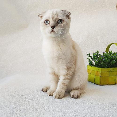 Djuliya Scottish fold female kitten