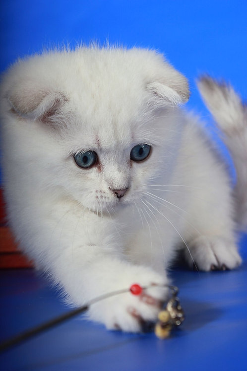 Isick very friendly Scottish fold shorthair male kitten with blue eyes