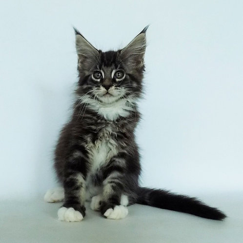 Chicago Maine Coon male kitten in a black marble color