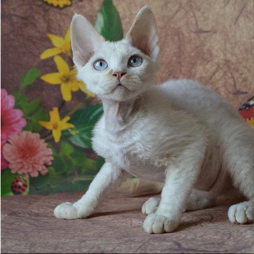 Mistbreeze*UA Ula Devon Rex female kitten