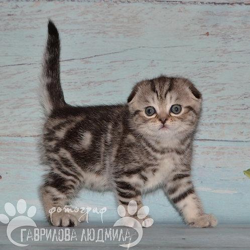 Melody Scottish fold shorthair female kitten