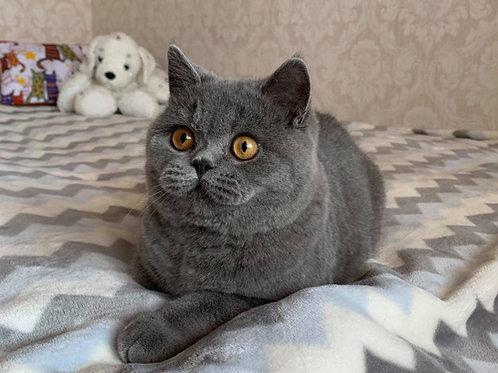 New Star British shorthair male kitten