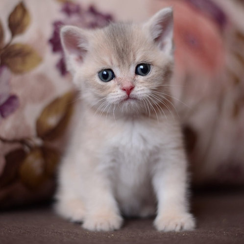 Neo British shorthair male kitten