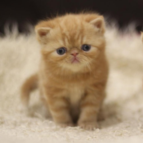 Pinto red tabby color Exotic shorthair male kitten