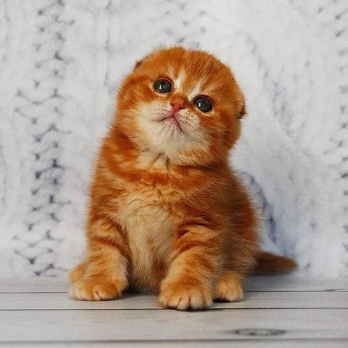 Fekla Scottish fold shorthair female kitten