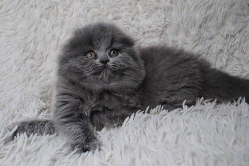 Assol Scottish fold female kitten