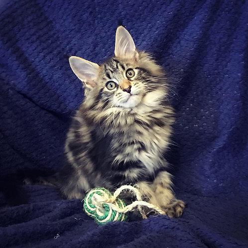 Duk Maine Coon male kitten