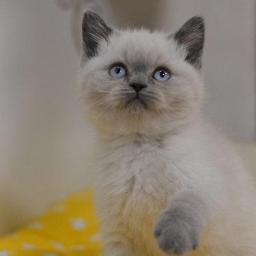 Frenky Scottish straight shorthair male kitten