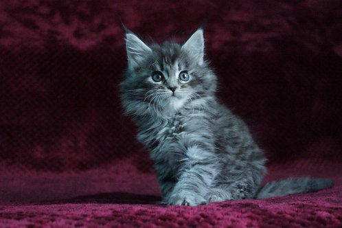 Izabel Maine Coon kitten