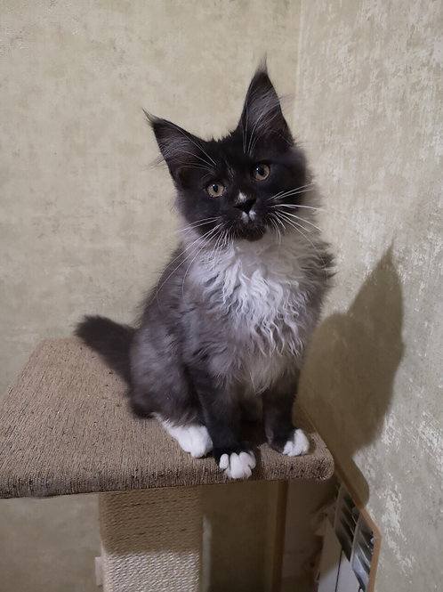 Begemot Maine Coon male kitten