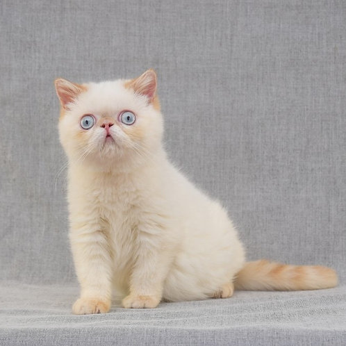 Umka creamy links color point  Exotic shorthair kitten