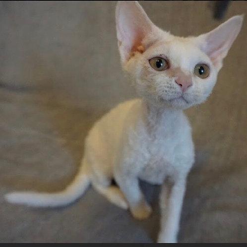 Etera white with orange eyes color female kitten Devon Rex