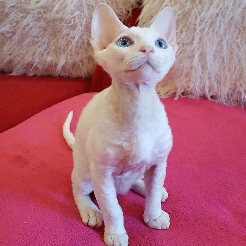 Marlboro Devon Rex male kitten in a white color