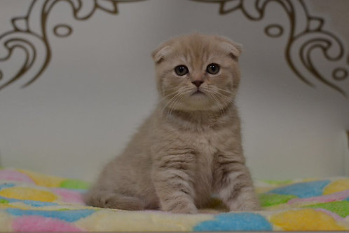 Spirit purebred Scottish fold in a lilac tabby color