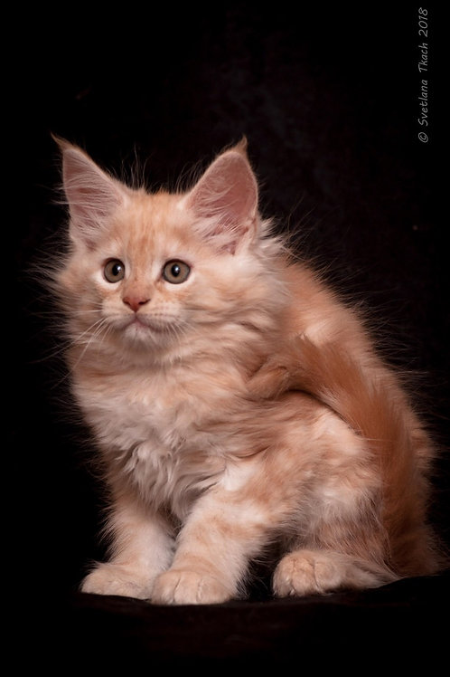 Dolli Maine Coon red marble smoky color female kitten