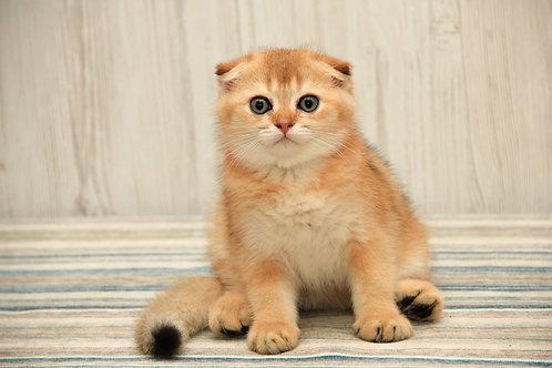 Citrus Scottish fold shorthair male kitten