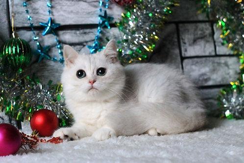 Cyrus purebred British shorthair male kitten