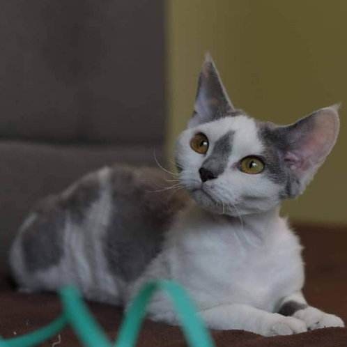 Mendusa Devon Rex kitten