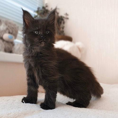 Sting Maine Coon kitten