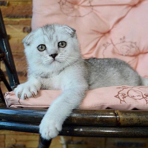 Archi Scottish fold male kitten