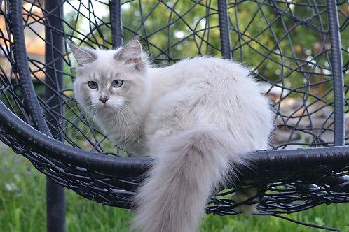 91 Estelle Ellbrante     Siberian female kitten