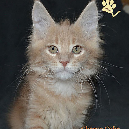 Cheese Cake creamy marble color male Maine Coon kitten