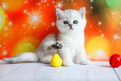 Billy purebred British shorthair kitten