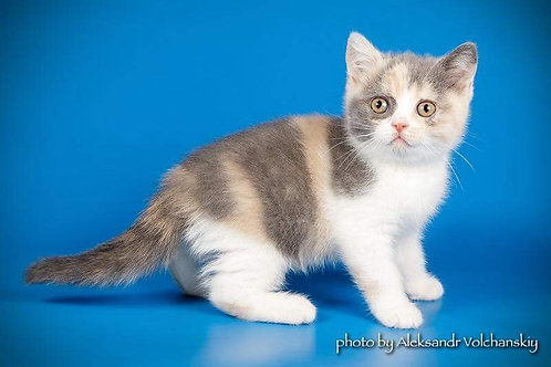 Milena purebred British shorthair female kitten