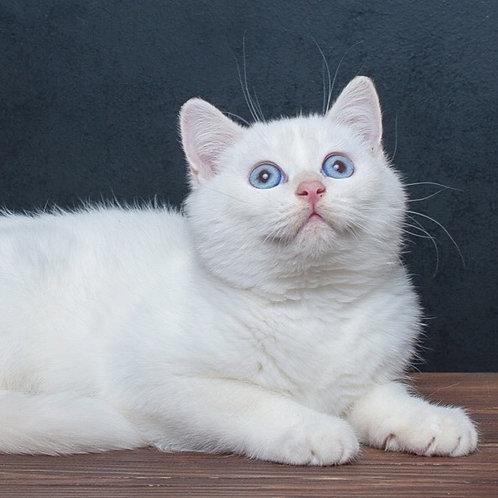 Wilson purebred British shorthair male kitten