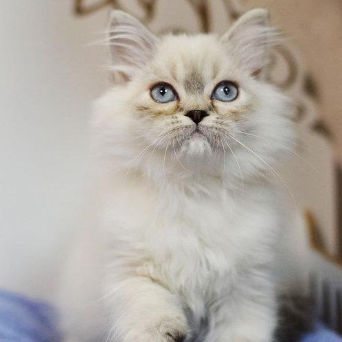 Teon Scottish straight longhair male kitten