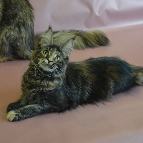Kateryna Maine Coon in a tortie marble color