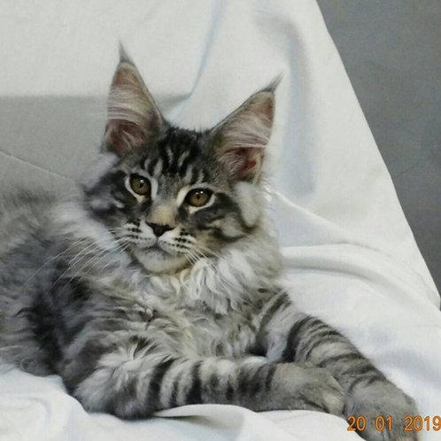 Jumanji Maine Coon black silver tiger color male kitten