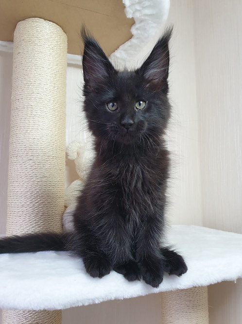 Stephan Maine Coon kitten