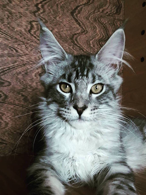 Gordon Tair House purebred black marble on silver color male Maine Coon