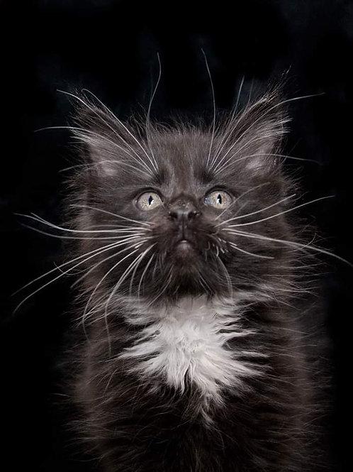 Nickolas Maine Coon black&white color kitten
