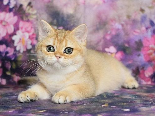 863 Clara  British shorthair female kitten