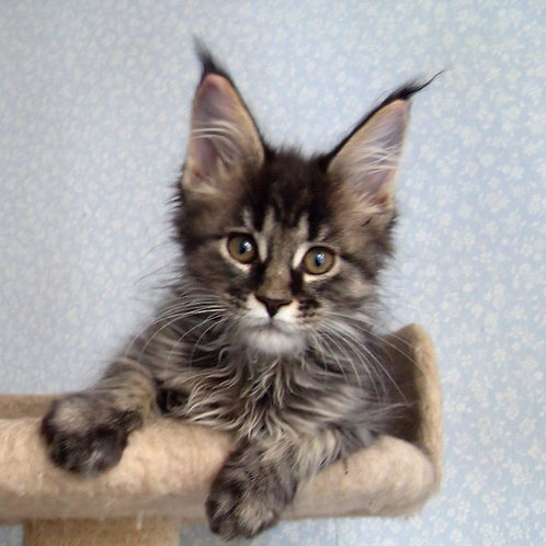 Karolina purebred black tiger color female Maine Coon