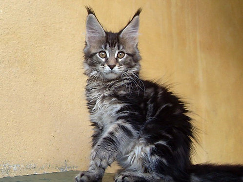 King Dario purebred male Maine Coon kitten